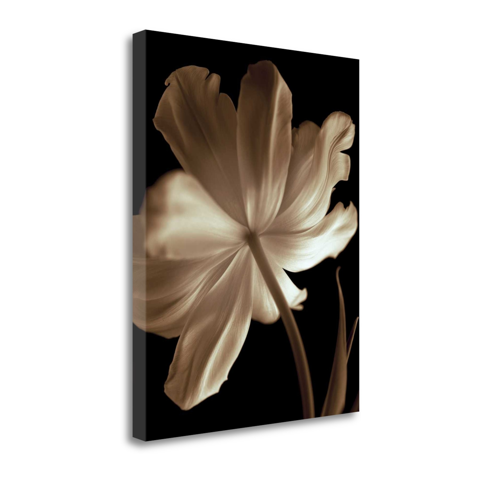 "Champagne Tulip II By Charles Britt, 18"" x 23\"" Fine Art Giclee Print on Gallery Wrap Canvas, Ready to Hang"