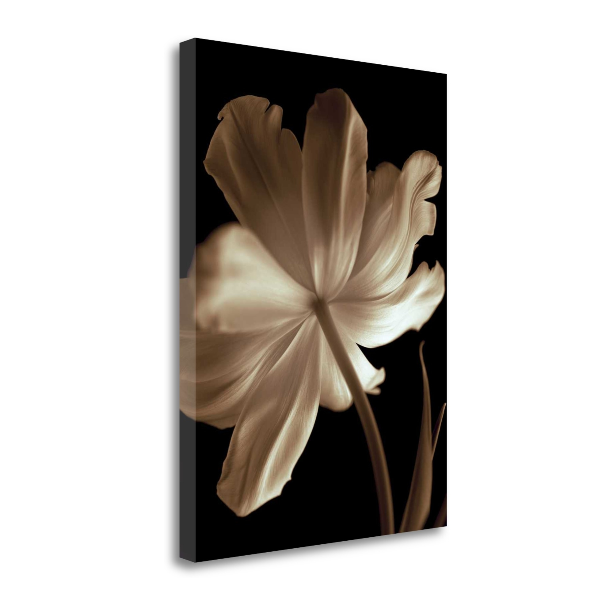 "Champagne Tulip II By Charles Britt, 35"" x 47\"" Fine Art Giclee Print on Gallery Wrap Canvas, Ready to Hang"